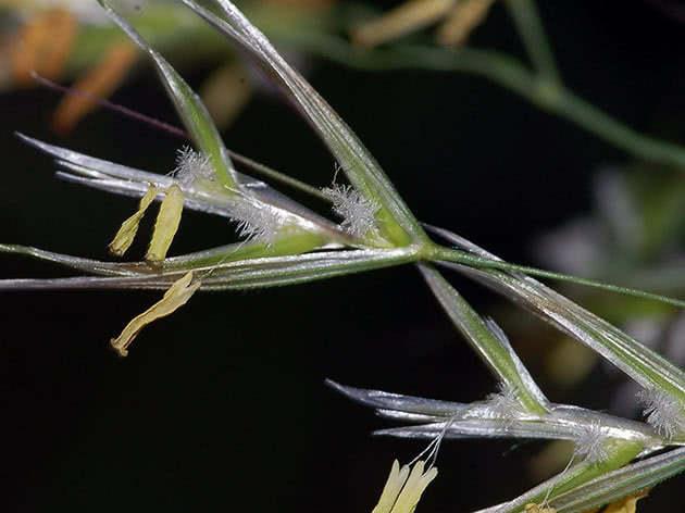 Вівсянець пухнастий (Helictotrichon pubescens)