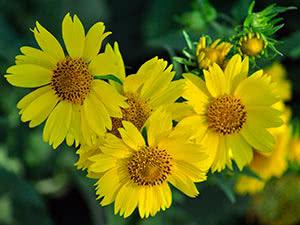 Квітка геліопсис: посадка і догляд