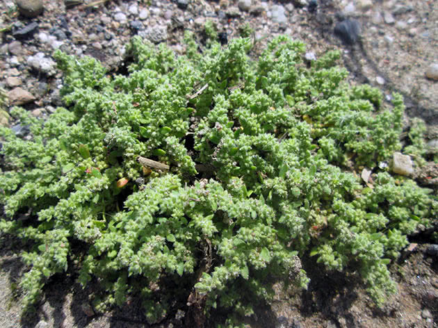 Грыжник волосистый (Herniaria hirsuta)