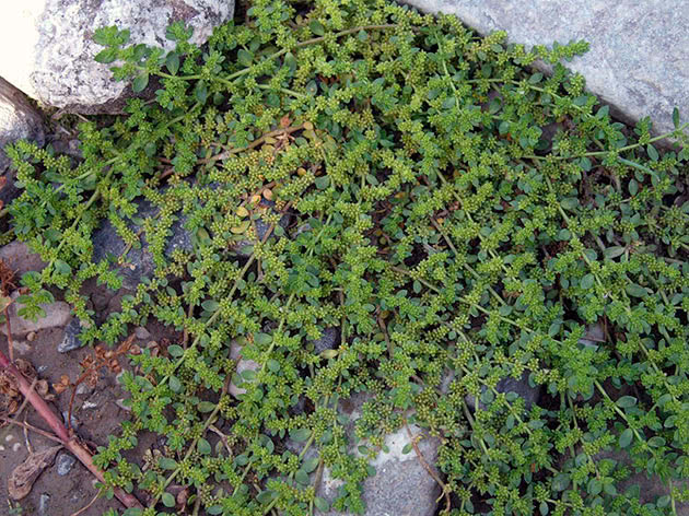 Грыжник кавказский (Herniaria caucasica)
