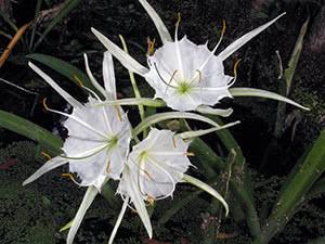 Растение гименокаллис: посадка и уход в открытом грунте