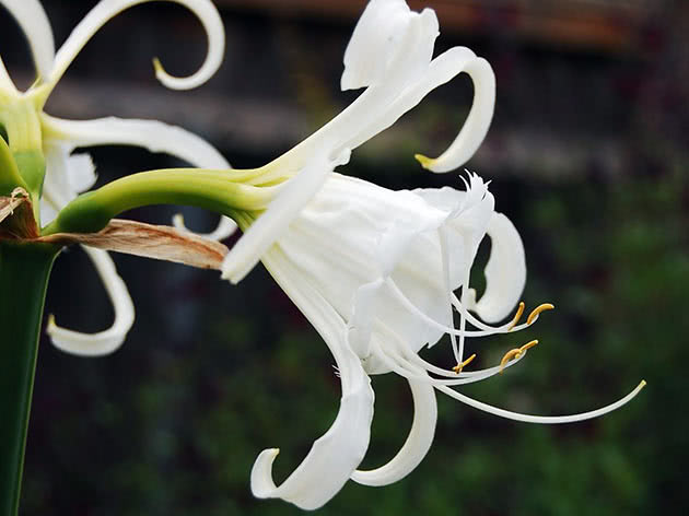 Гіменокаліс фесталіс (Hymenocallis festalis)