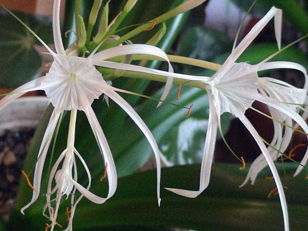 Гіменокаліс прибережний (Hymenocallis littoralis)