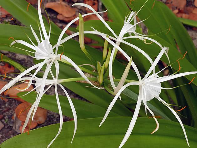 Гіменокаліс широколистий (Hymenocallis latifolia)