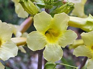 Рослина інкарвіллея – вирощування в саду