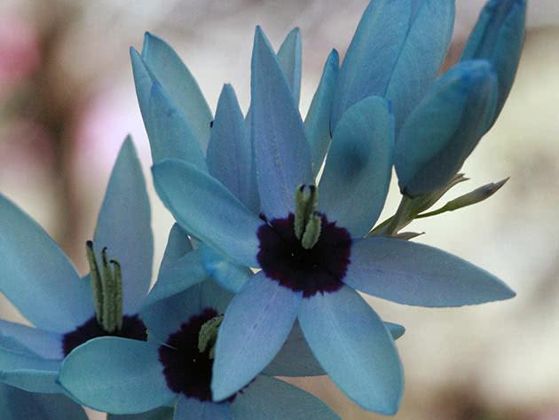 Иксия зеленоцветковая (Ixia viridiflora)