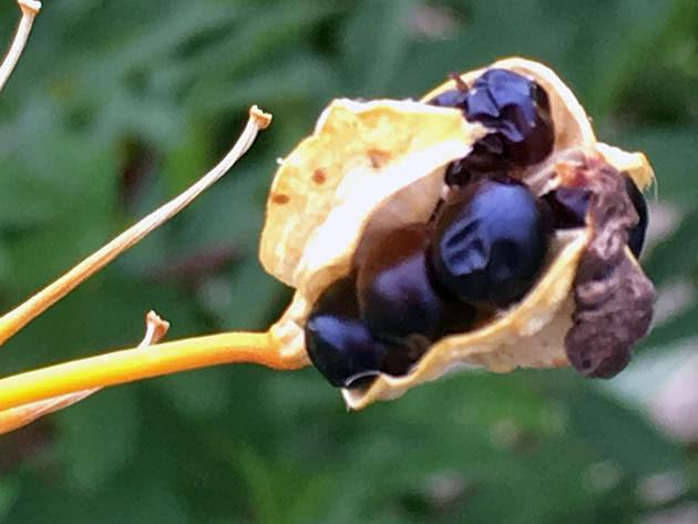 Иксия китайская (Ixia chinensis)