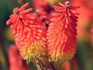 Цветок книфофия – выращивание в саду