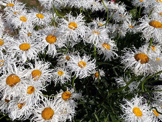 Як садити і доглядати за королицею садовою