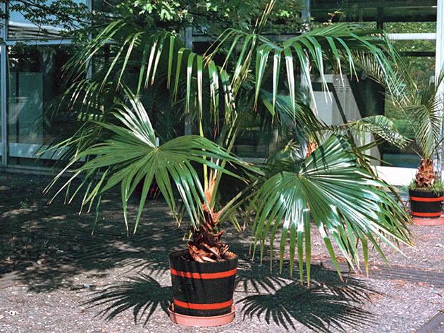 Лівістона китайська (Livistona chinensis)