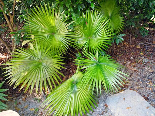 Лівістона круглолиста (Livistona rotundifolia)