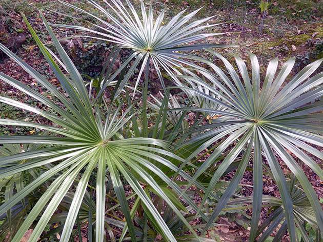 Лівістона південна (Livistona australis)