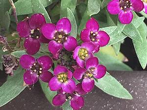Растение лобулярия: посадка и уход в открытом грунте