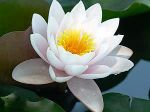 Квітка лотос