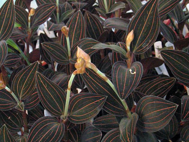 Выращивание орхидеи лудизии в домашних условиях