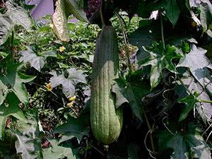 Растение люффа: уход в домашних условиях