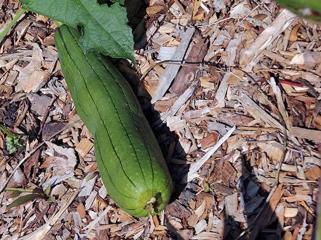 Люффа цилиндрическая (Luffa aegyptiaca)