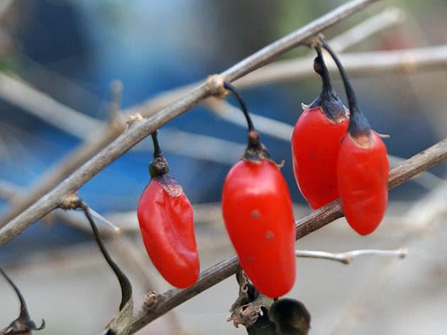 Дереза китайська (Lycium chinense)