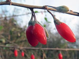 Ягоды годжи – выращивание в саду