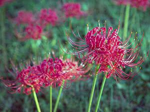 Рослина лікоріс – вирощування в саду