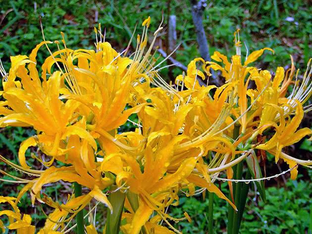 Лікоріс золотистий (Lycoris aurea)