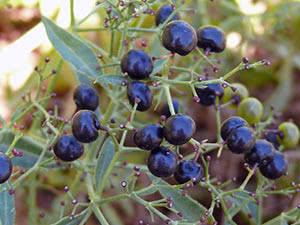 Выращивание марены в открытом грунте