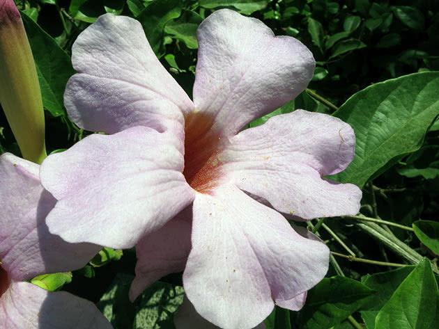 Дипладения блестящая (Dipladenia splendens)