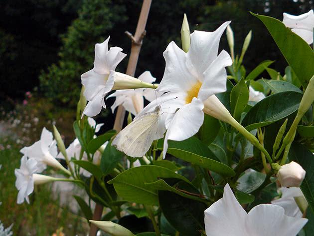 Дипладения рыхлая (Dipladenia laxa)