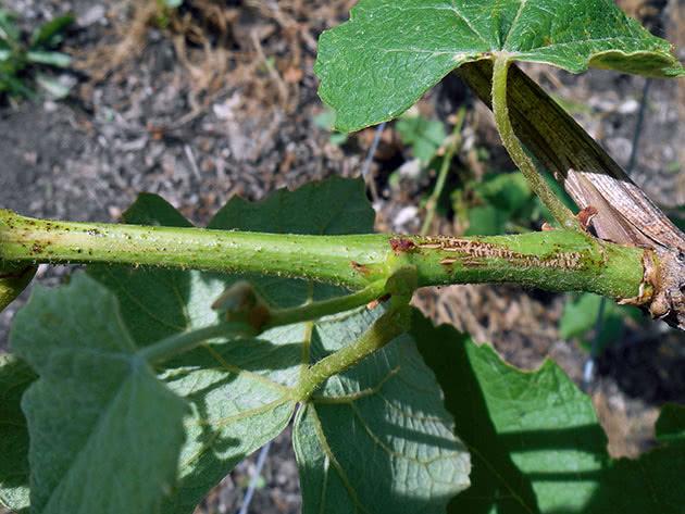 Лечение черной пятнистости на томатах