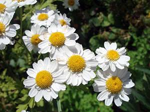 Цветок матрикария: посадка и уход