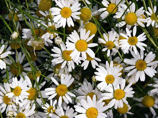 Ромашка аптечна (Matricaria recutita)