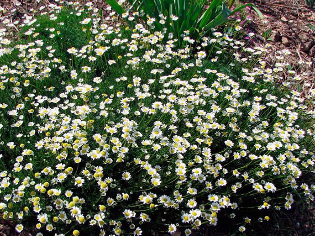 Ромашка Чихачева (Matricaria tchihatchewii)