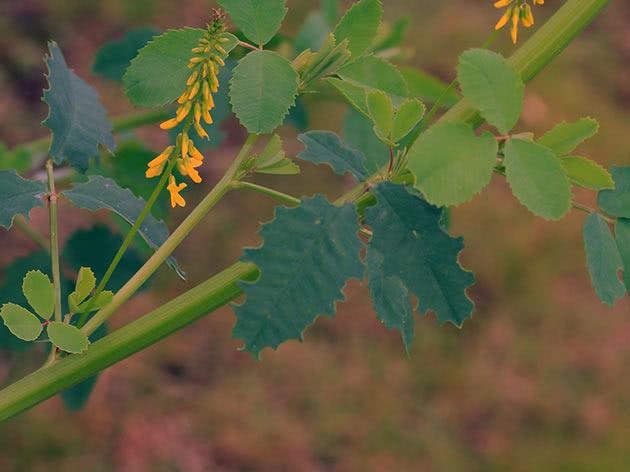 Умови вирощування буркуну на городі