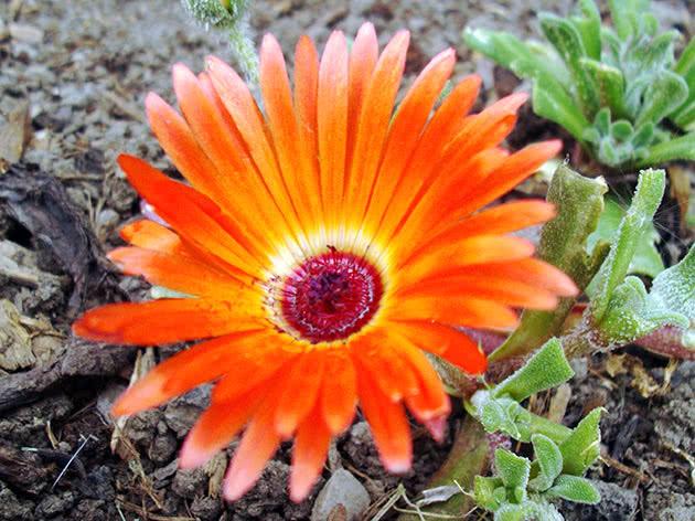 Как цветет мезембриантемум в открытом грунте