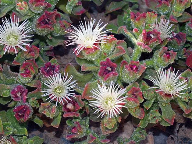 Мезембриантемум хрустальный (Mesembryanthemum crystallinum)