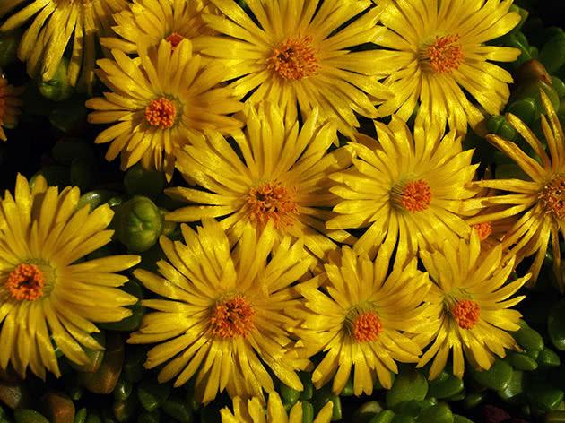 Мезембриантемум облачный (Mesembryanthemum nubigenum)