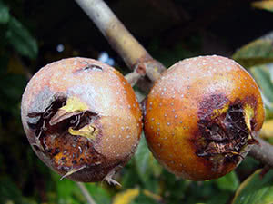 Дерево мушмула – выращивание в саду