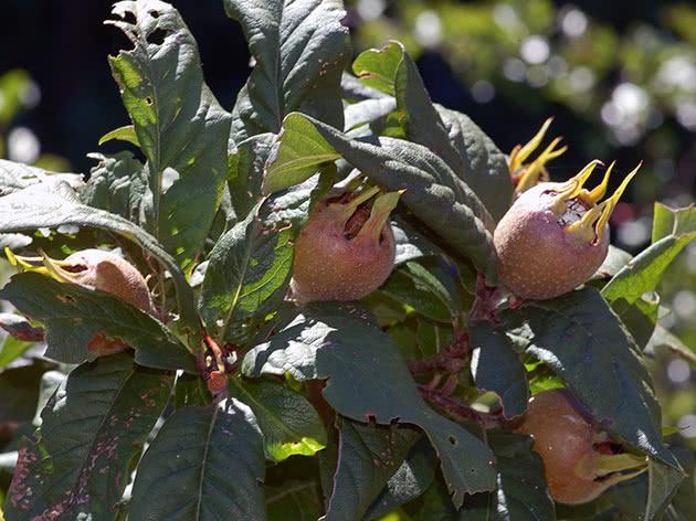 Как посадить и вырастить мушмулу в саду