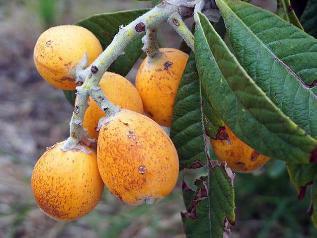 Мушмула японська (Eriobotrya japonica)