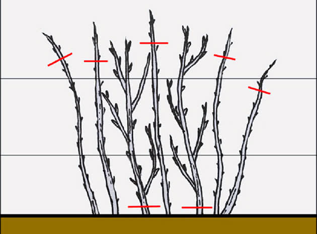 Схема обрізки малини