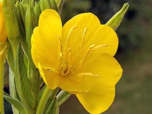 Трава енотера: посадка й догляд у відкритому ґрунті