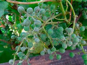 Оїдіум винограду: профілактика та лікування
