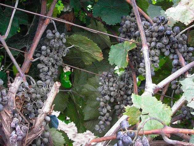 Оидиум на винограде: меры борьбы и профилактика