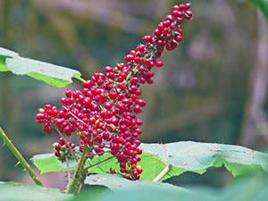 Выращивание заманихи в открытом грунте