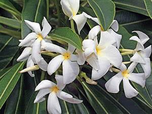 Цветок пахиподиум в домашних условиях
