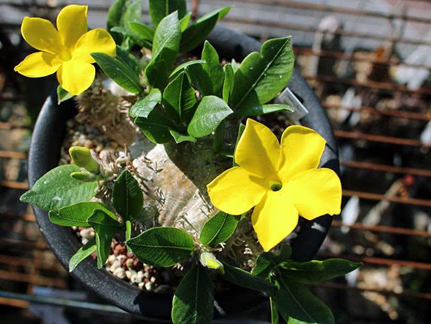 Пахіподіум короткостебловий (Pachypodium brevicaule)