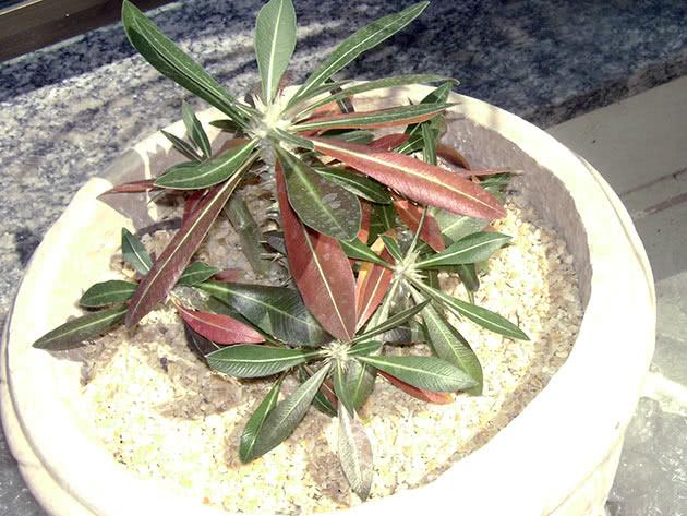 Пахіподіум хоромбензе (Pachypodium horombense)