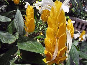 Цветок пахистахис в домашних условиях