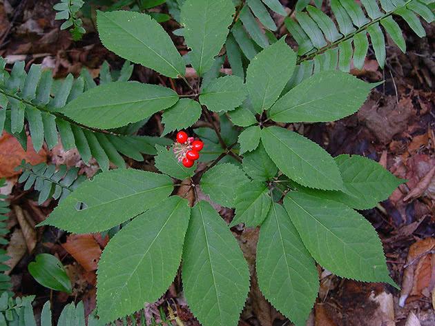 Женьшень пятилистный (Panax quinquefolium)