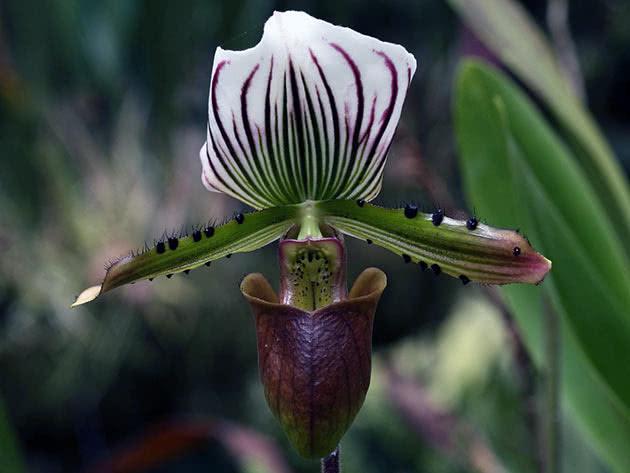Пафіопеділум Лоуренса (Paphiopedilum lawrenceanum)